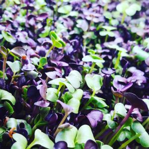 Ravanelli misti: daikon, viola e rosa